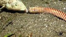 Animal cauchemardesque : ce ver avale les poissons vivants. Bobbit Worm