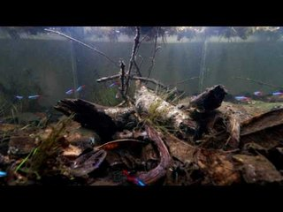 Nathan Hill's Neon tetra Biotope