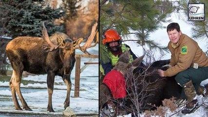 800 Pounds Moose Falls Through A Man's Window