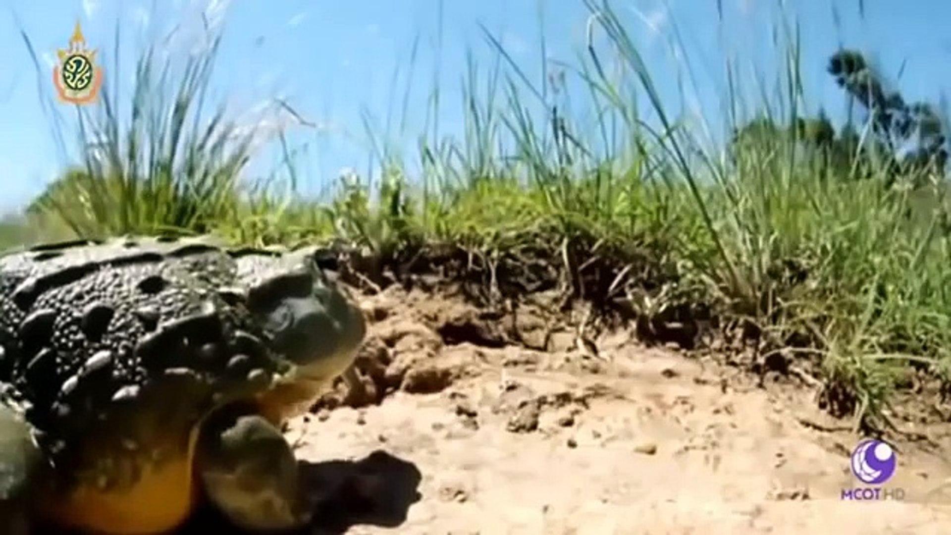 BBC Animals Documentary 2018, Amazing Giant Frog, Discovery Wild Animals
