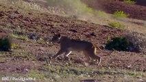 Une lionne tente d'arrêter une girafe