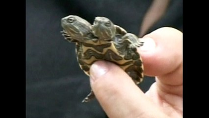Turtle Has Two Heads