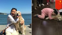 Pet dog gets poisoned by dog-hating neighbors in China