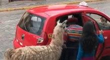 Un lama monte tranquillement dans un taxi à Cuzco au Pérou !