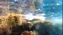 Cette petite raie tente de nager parmi les détritus et déchets plastique... Pauvre animal