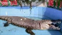 Un crocodile laissé en sang après que des visiteurs lui aient jeté des pierres