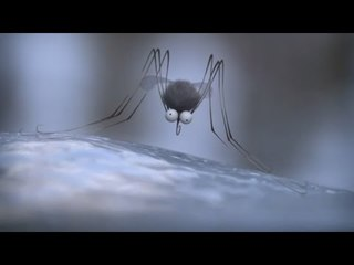 Minuscule - The mosquito of the caribbean/ Moustique des Caraïbes (Season 2)