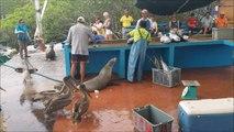 Un marché au poisson dans les îles Galapagos ça donne ça... Pelicans, phoques et otaries