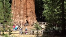 Une vue incroyable de l'arbre le plus imposant du monde : General Sherman -  parc national de Sequoia (Californie, États-Unis)