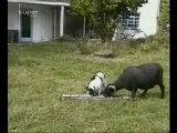 ANIMAUX / HUMOUR : Chien et bouc - Dog and goat
