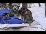 Raid en chiens de traîneaux 2006 Partie 4: Les chiens