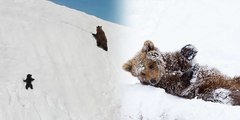 Heartbreaking truth behind fallen baby bear showing perseverance as he climbs the snowy mountain, the most viral clip right now