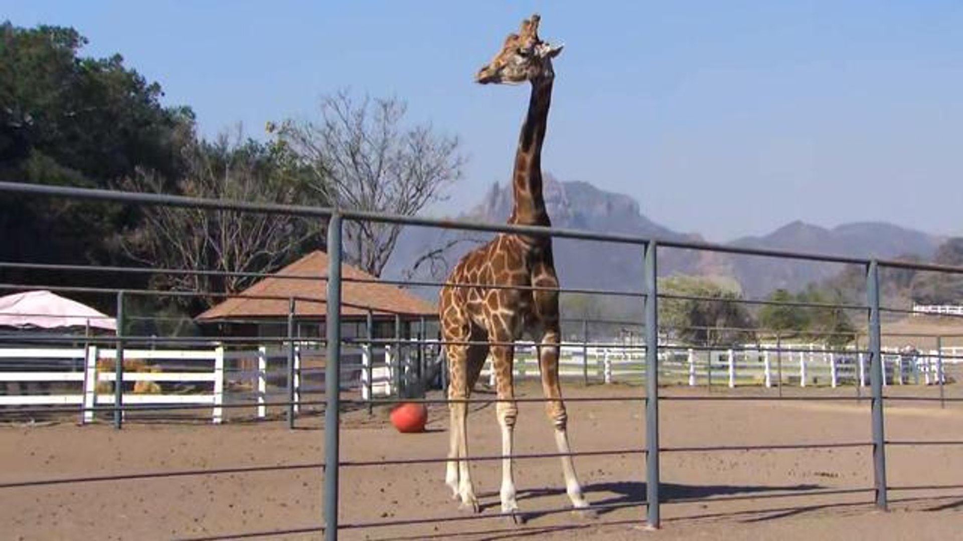 Why Wasn't 'Hangover Part 3' Star Stanley the Giraffe Evacuated Amid Wildfires?