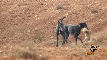 Mañana de liebres y galgos / Greyhounds vs Hares, hares win