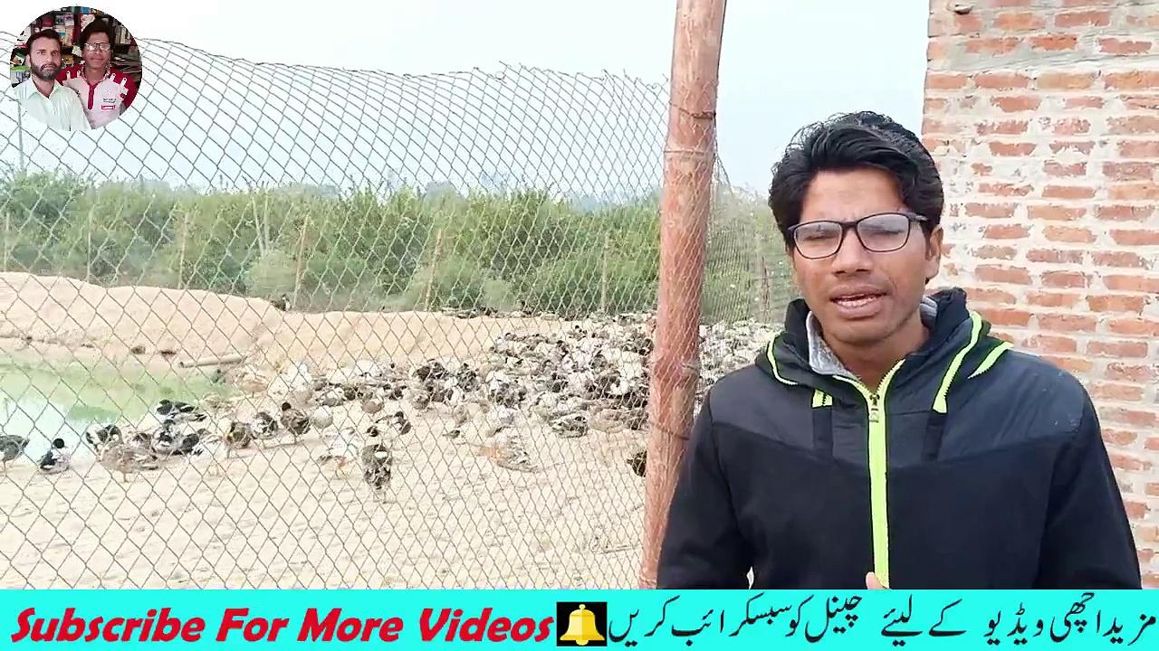 Duck Farming / Duck Farming in Pakistan / duck for business