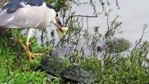 Des tortues poursuivent un oiseau pour lui voler son pain