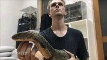 Il joue avec son cobra royal... Magnifique et terrifiant