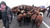 Çobanların koyun sürüleriyle 'zorlu' göçü - KARS
