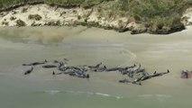 145 Pilot Whales Die In Mass Stranding On New Zealand Beach