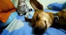 Cachorro solta um pum ao dormir e a reação do gato vai fazer você chorar de tanto rir