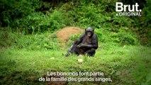 """""""Lola Ya Bonobo"""", un sanctuaire naturel dédié à la protection des bonobos en République démocratique du Congo"""
