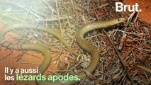 Le lézard apode, le grand oublié des reptiles rampants