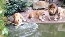 1 lion et 2 lionnes veulent manger le même oiseau au le zoo d'Amsterdam