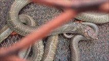 Il filme un cobra royal de plus de 3m... Animal magnifique