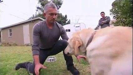 Cesar Millan dresseur professionnel se fait mordre par un labrador