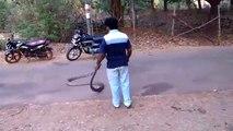 Il capture un énorme cobra royal en pleine route... Même pas peur