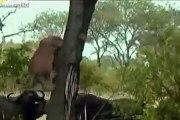 animal fight lion vs buffalo | WATCH LION vs BUFFALO REAL FIGHTS BUFFALO ATTACK LION