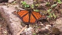 L'incroyable voyage des papillons monarques