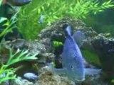Notre aquarium 460 litres  de cichlidés