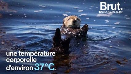 Comment les loutres de mer se protègent du froid ?