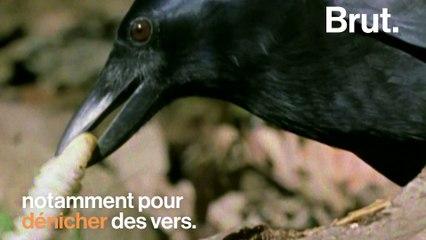Comment les corbeaux utilisent les voitures pour casser des noix