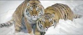Les images incroyables de deux tigres en train de jouer dans la neige