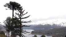 Los bosques chilenos de araucarias en peligro de extinción