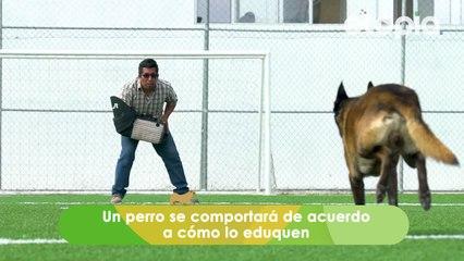 Los perros de raza fuerte son tiernos y amistosos