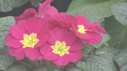 Frühlingsblumen Primeln mögen es kühl