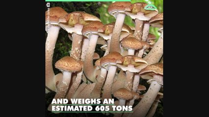 The world's largest organism has been found and it's a humongous killer fungus!