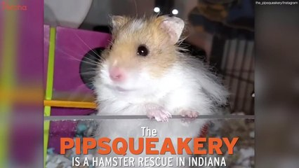 Pipsqueakery Offers Friends Indeed To Hamster In Need