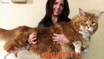 Is This Maine Coon The World's Longest Cat?