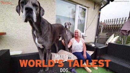 Great Dane Named World's Tallest Dog