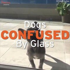 Dogs Confused By Glass