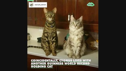 This adorable house cat just snagged the Guinness World Record for longest tail in the world!