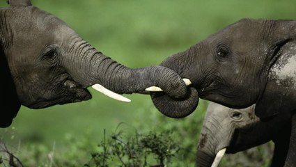 DNA from Poached Elephant Tusks Reveals Cartel Secrets