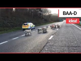 Hilarious Video Shows Flock of Sheep Being Hearded Along a Dual Carriageway | SWNS TV