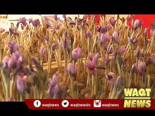 Saffron production hits record high in Afghanistan
