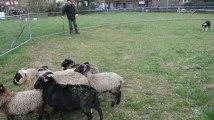 Liège : Il entraine les Border Collie a rassembler les moutons