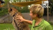 Ils filment la Course dun Guépard avec une GoPro au Zoo de Cincinnati...  quelle vitesse!